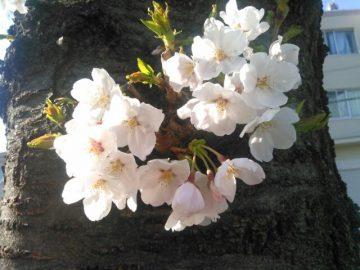 桜咲く!!