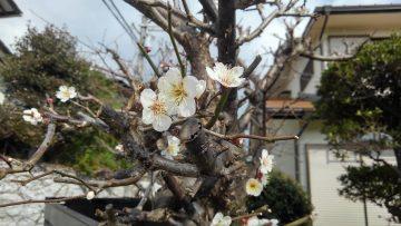 梅は咲いたが・・・⁉